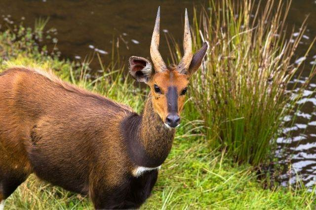 Gacela en el Parque Nacional de Aberdare