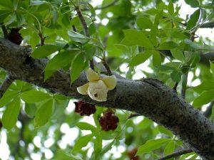 Flores de Baobab en la selva malgache