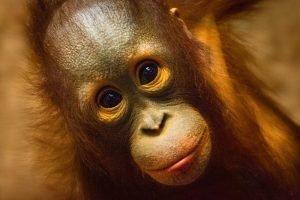 Cara de bebé orangután