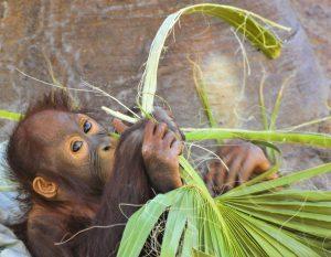 Cría orangután comiendo