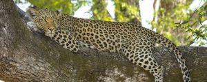 Datos curisos de Botswana como el leopardo