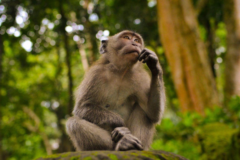 Mono en la naturaleza en Indonesia