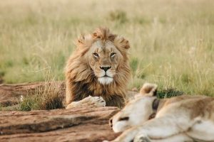 leon en un safari en áfrica 15 días