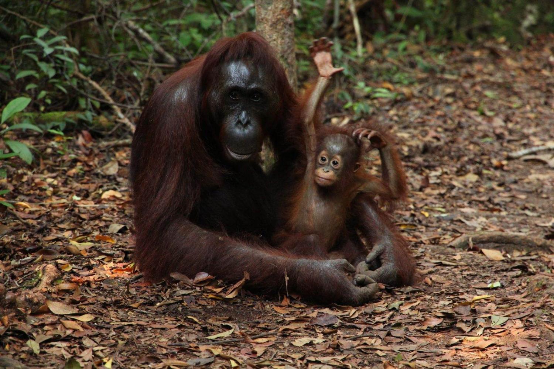 ¿Dónde ver orangutanes en Indonesia?