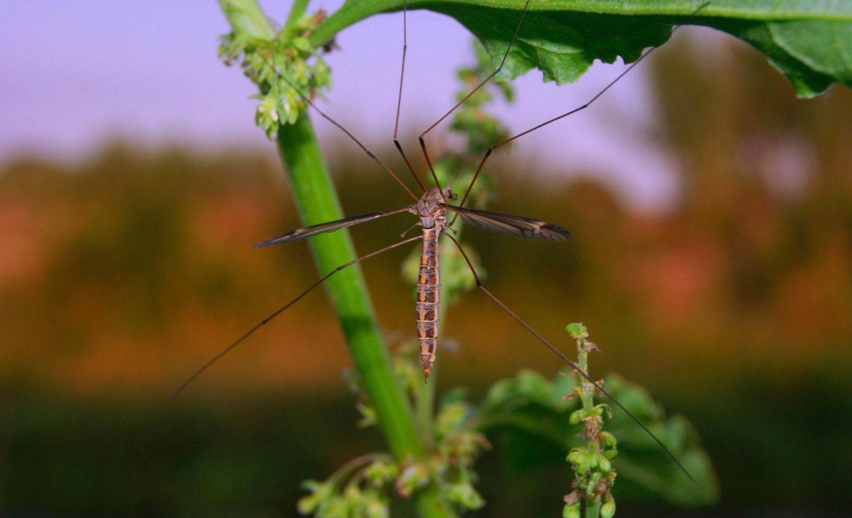 primer plano de mosquito