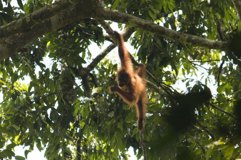 Orangután árbol