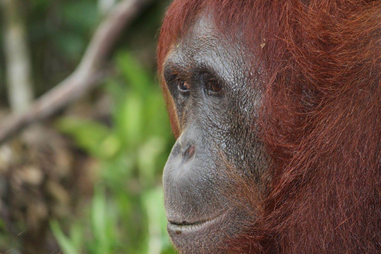 vista de un orangután en libertad en Indonesia en un parque natural