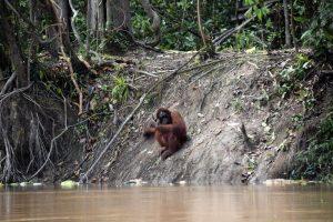 Orangután en libertad