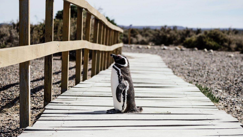 pingüino de magallanes de la península de valdés