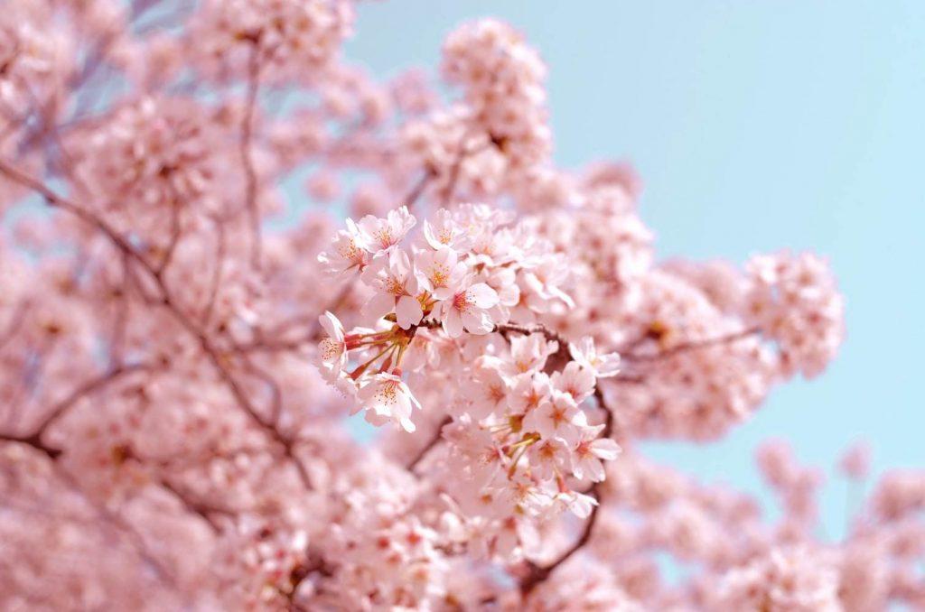 Cerezo en flor de color rosado