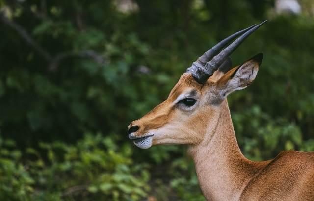 Antílope en el Chobe