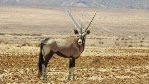 Antilope en Sudáfrica