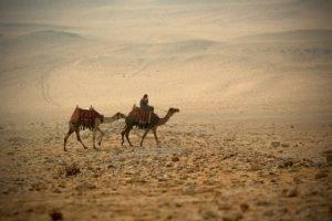 Camellos egipto