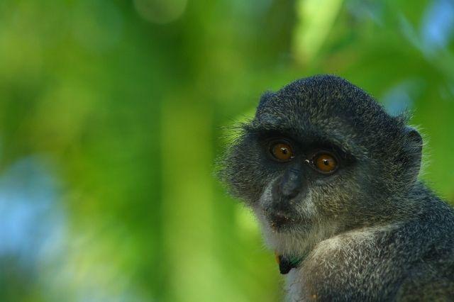 Mono de Zanzíbar