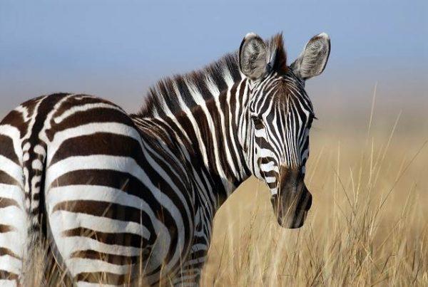 Cebra en Bostwana safari