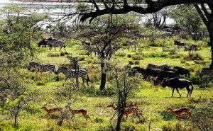 Cebras, ñus y antilopes