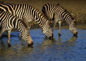 cebras bebiendo agua