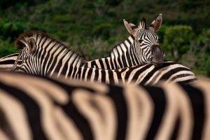 Cebras en Sudáfrica