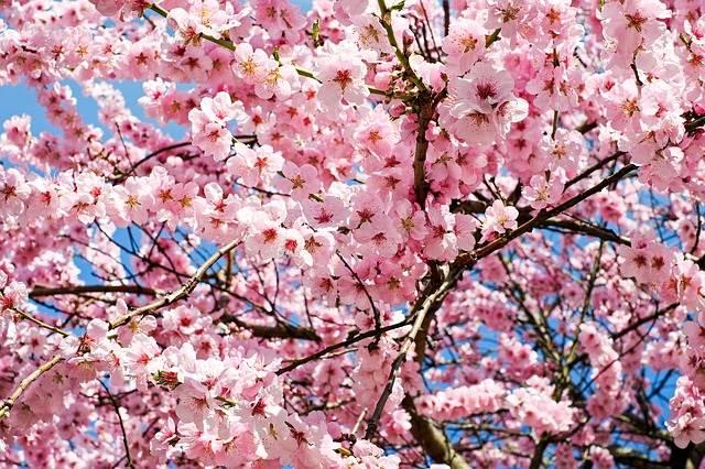 Cerezos en primavera