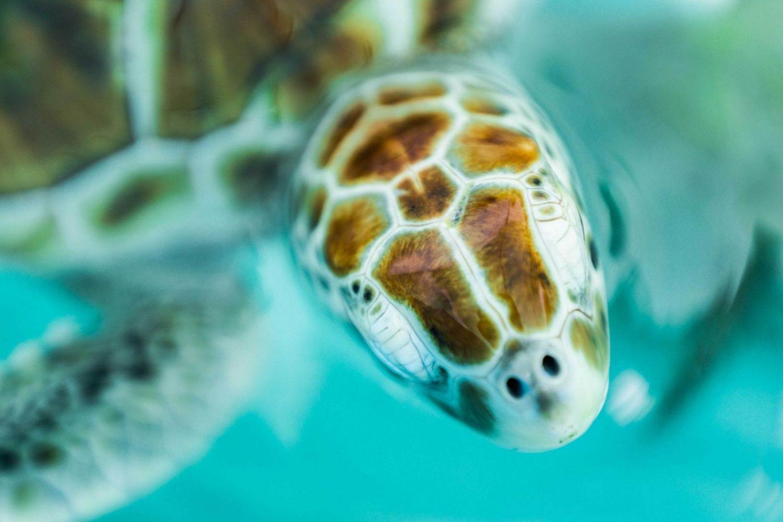 primer plano de tortuga en el mar