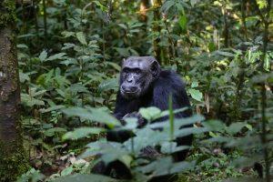 chimpance en la selva de Uganda