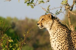 Leopardo en Chobe