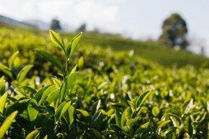 Plantaciones de té de Sahambavy, Madagascar