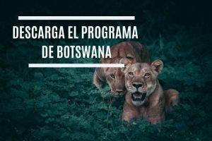 dos leonas en botswana