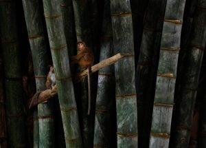 Monos sobre un árbol en Sri Lanka