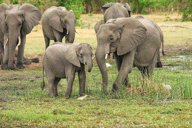 elefantes de India
