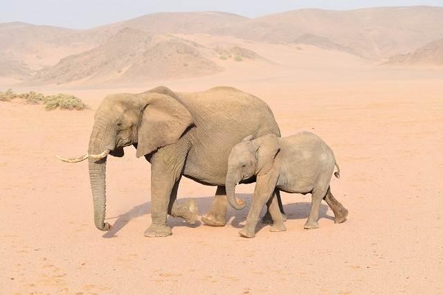 Elefantes del Desierto de Namibia