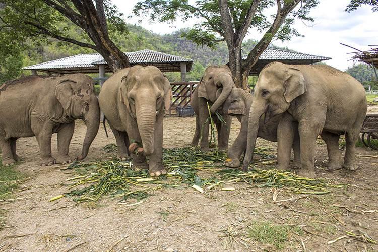 Elenfantes en Tailandia