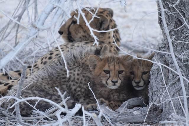 Etosha Leopardo