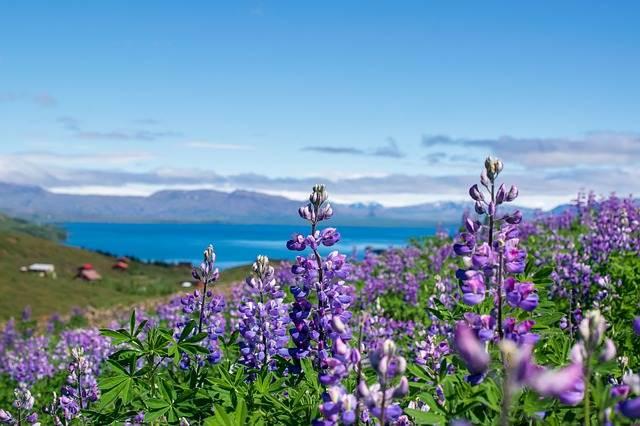 Flores de primavera en Islandia
