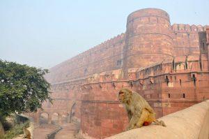Mono con el Fuerte Rojo de Agra al fondo