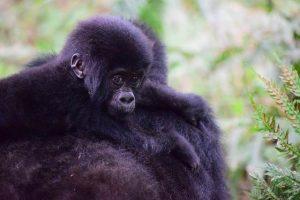 pequeño gorila de montaña