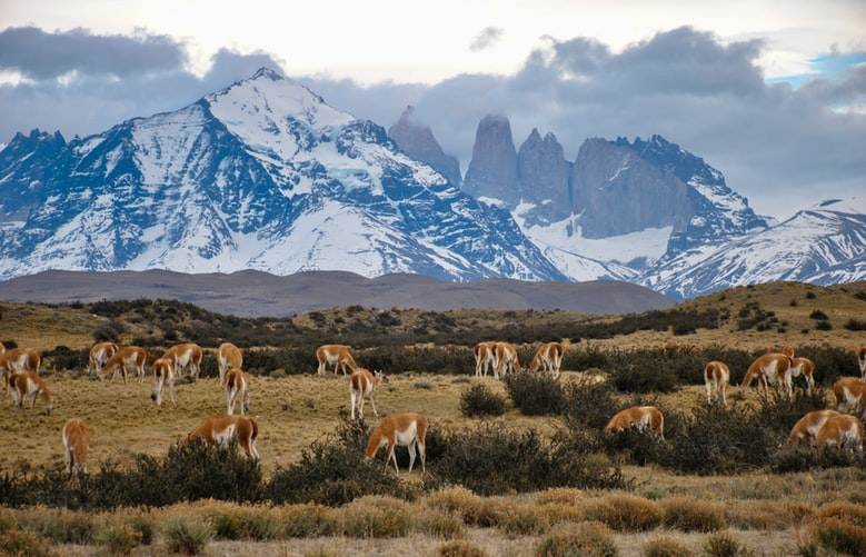 Guanacos en el Parque Nacional Torres del Paine