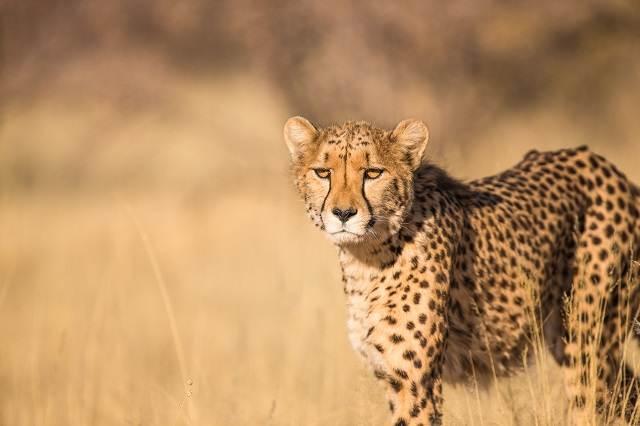 guepardo en namibia