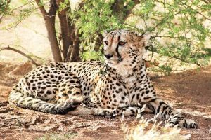 guepardo tumbado en Namibia