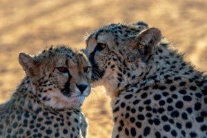 Guepardos en el Kalahari
