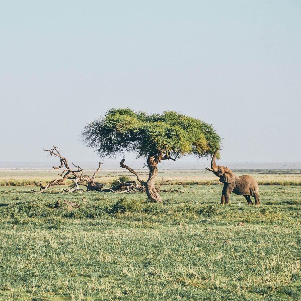 Elefante comiendo de acacia