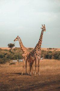 Un par de jirafas y zebras al fondo en Masai Mara, Kenia