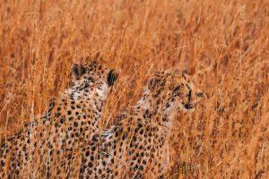 Guepardos en tierras de Masai Mara