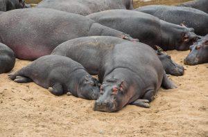 Hipopótamos tumbados al sol en Kenia