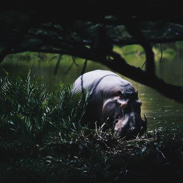 hipopotamo en el río