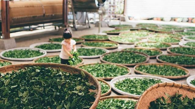 niña con hojas de té