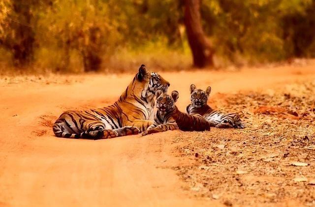 Tigres de la india