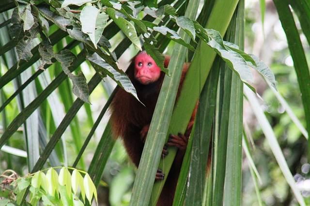 Mono en Iquitos Amazonas