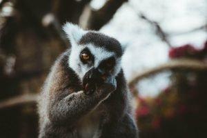 lemur en la copa de un árbol en Madagascar