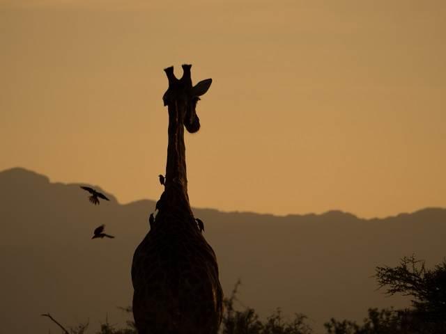 jirafa en el parque kruger